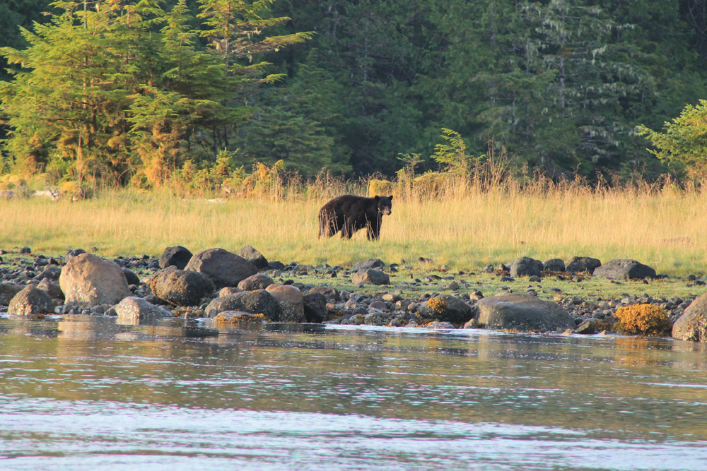 West narrows bear